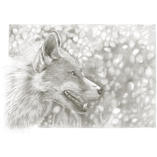 Pencil portrait of The fox...